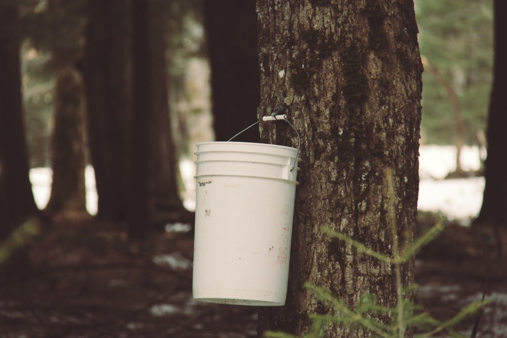 Spouts are bored into the tree, with buckets to collect the watery sap