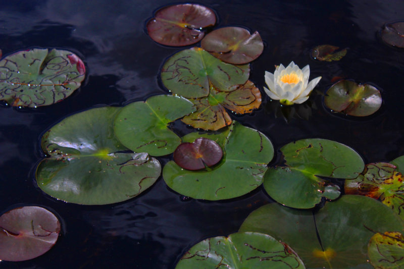Lilly pad with flower